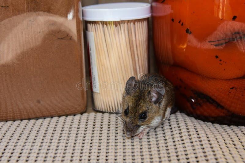 Uit kruipend van tussen voedingsmiddelen een wilde grijze huismuis, Mus-musculus, in een keuken stock foto's