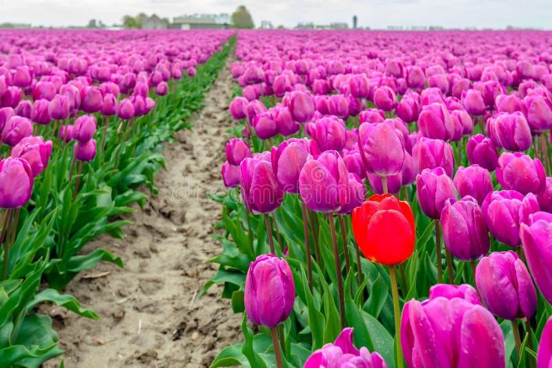 Uit slaand rode tulpentribunes boven de menigte van gemeenschappelijke purp royalty-vrije stock afbeeldingen