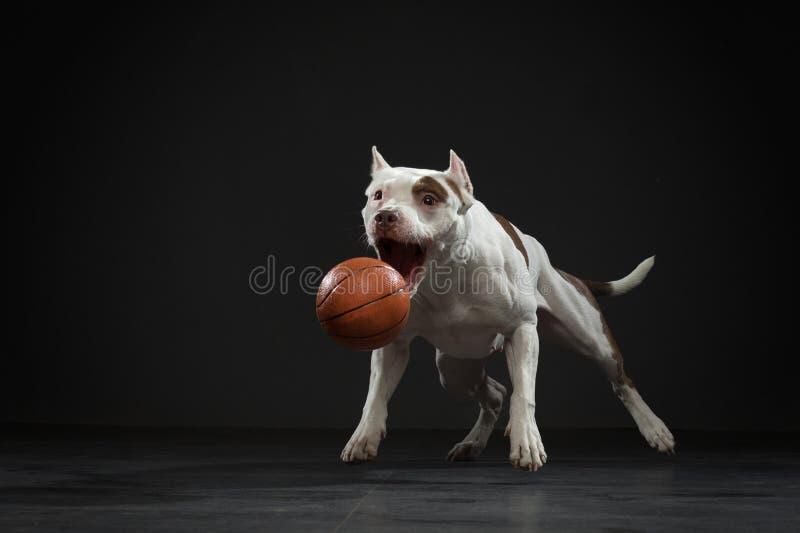 Uitdrukkende pit-stier vangt de bal Actieve hond in de studio, actie stock fotografie