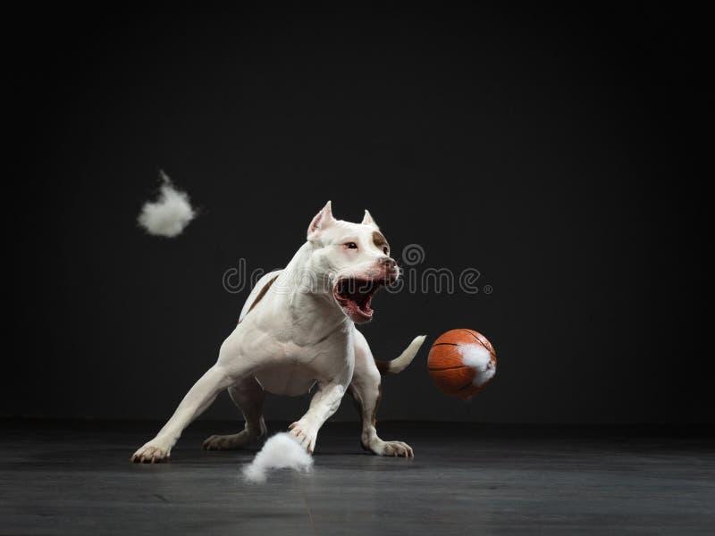 Uitdrukkende pit-stier vangt de bal Actieve hond in de studio, actie stock foto