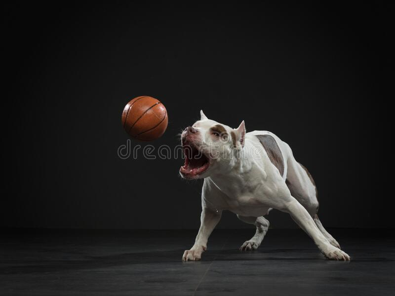 Uitdrukkende pit-stier vangt de bal Actieve hond in de studio, actie stock foto's