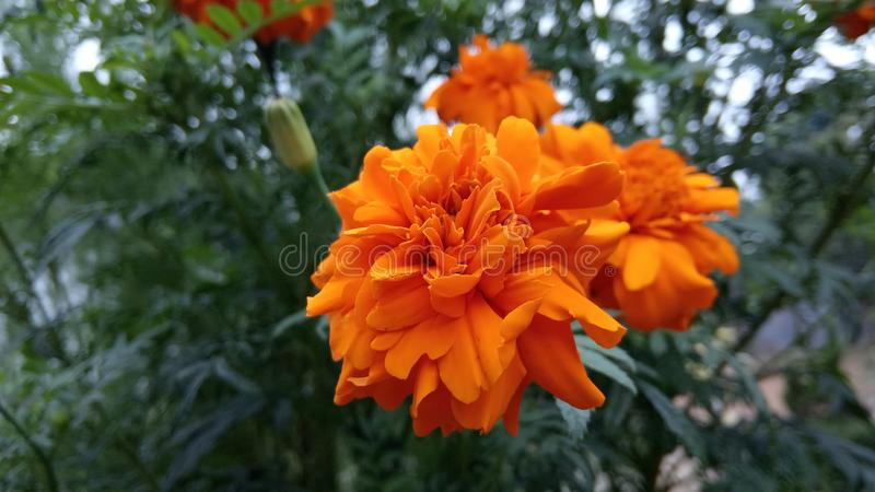 Uiteindelijke Schoonheidsbloem in Tasikmalaya royalty-vrije stock afbeelding
