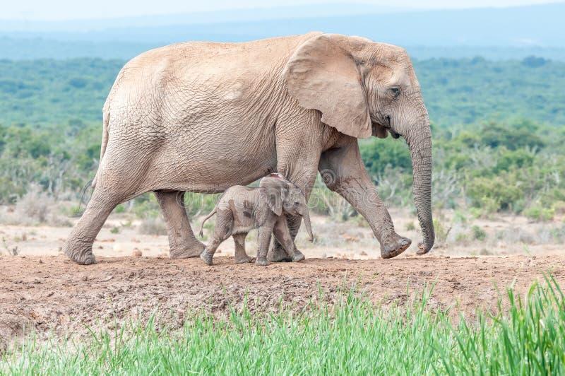 Uiterst klein olifantskalf die naast zijn moeder lopen stock fotografie