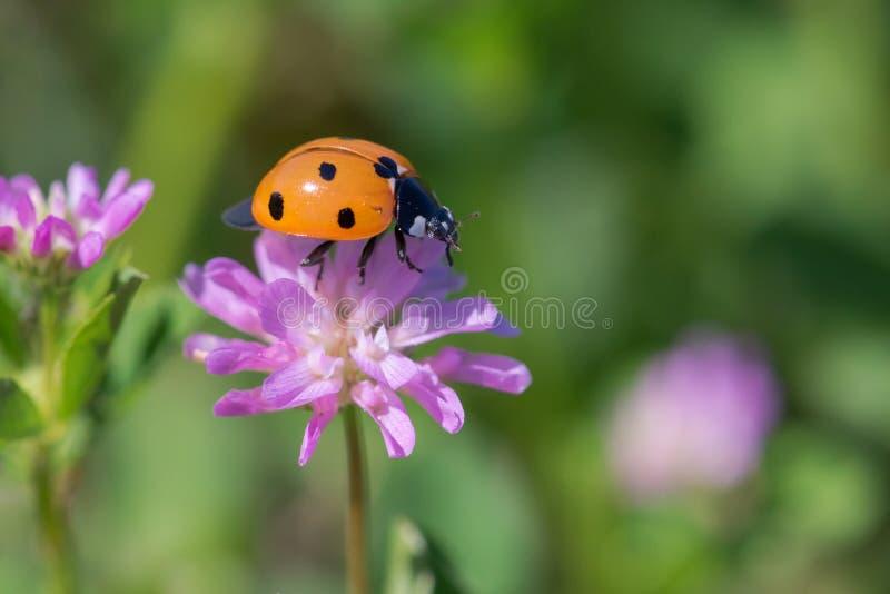 Uiterst klein Oranje Lieveheersbeestje op Lichtpaarse Wildflower royalty-vrije stock afbeelding