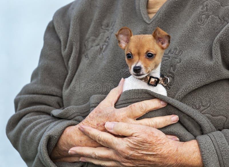 Uiterst klein Toy Fox Terrier Puppy Cuddled in de Wapens van de Eigenaar royalty-vrije stock fotografie