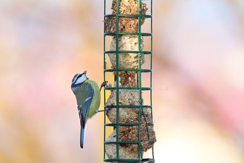 Uiterst kleine blauwe mees die voedsel bekijken royalty-vrije stock foto