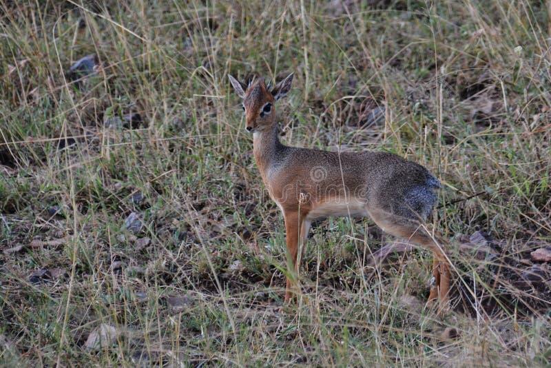 Uiterst kleine dik-Dik in Serengeti royalty-vrije stock afbeeldingen