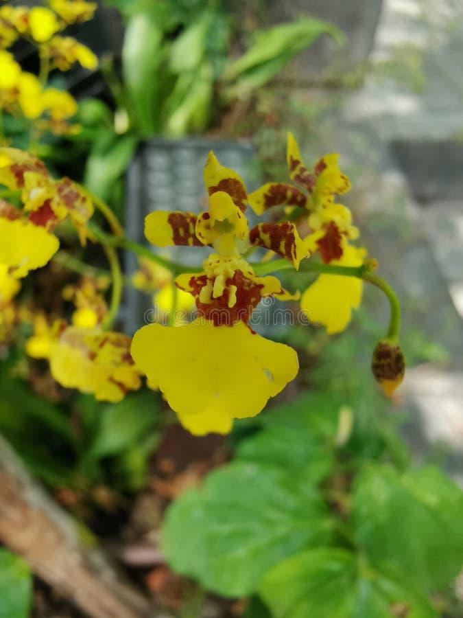 Uiterst kleine Gele Orchidee royalty-vrije stock afbeeldingen