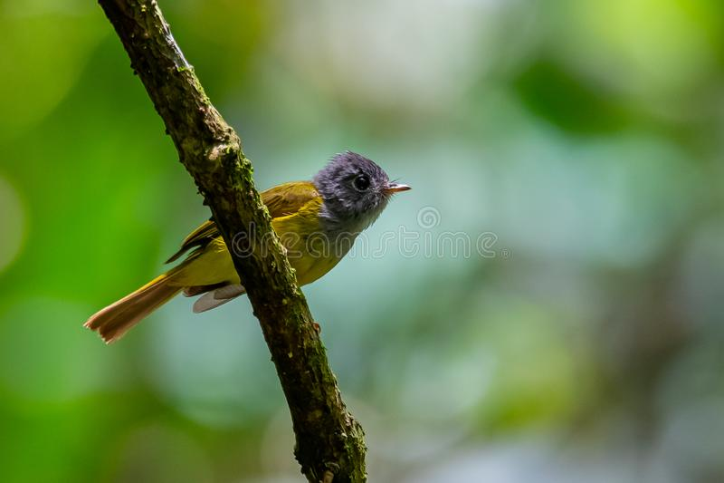 Uiterst kleine grijs-Geleide kanarie-Vliegenvanger die op een toppositie neerstrijken die afstand onderzoeken stock afbeelding