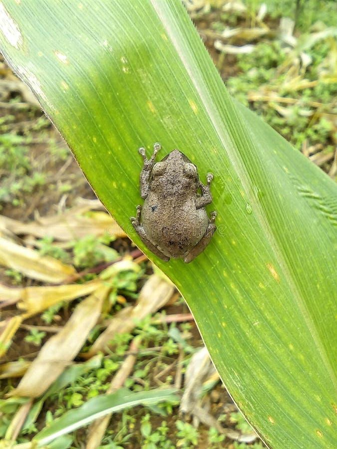 Uiterst kleine kikker op een blad stock foto