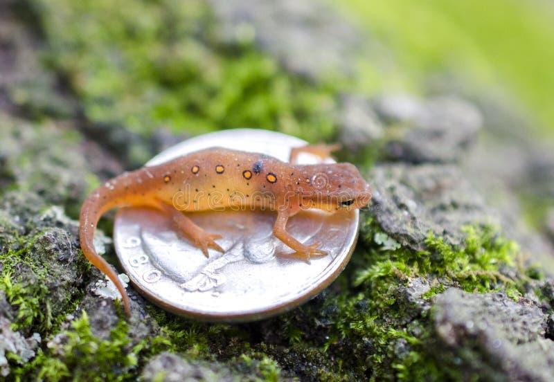 Uiterst kleine Oostelijke Bevlekte Newt op kwartmuntstuk royalty-vrije stock foto's