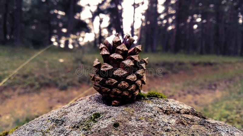 Uiterst kleine pinecone royalty-vrije stock fotografie