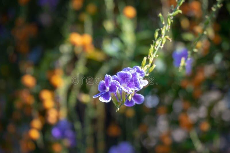 Uiterst kleine purpere bloemen met zonlicht op vage achtergrond stock foto