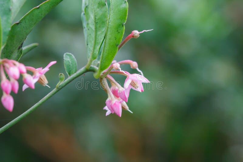 Uiterst kleine roze bloemen in bloeiende natuurlijke bossen stock afbeelding