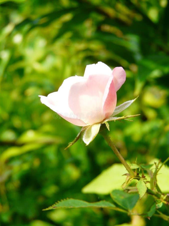 Uiterst kleine roze nam rosaceae 4 toe stock foto's