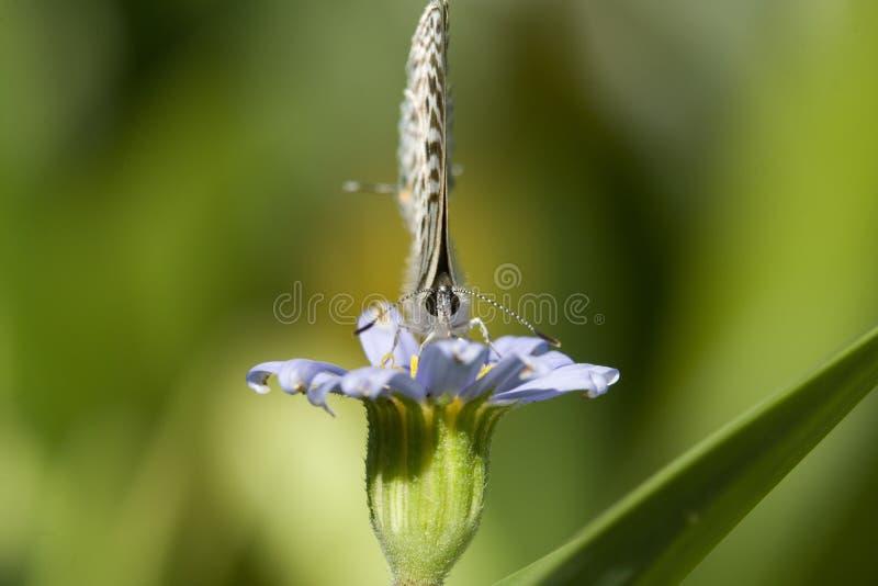 Uiterst kleine vlinder, hoofd op macro.