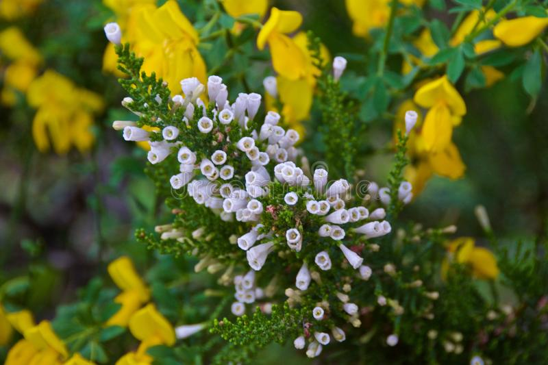 Uiterst kleine witte bloemen die in Bariloche, Argentinië bloeien royalty-vrije stock foto