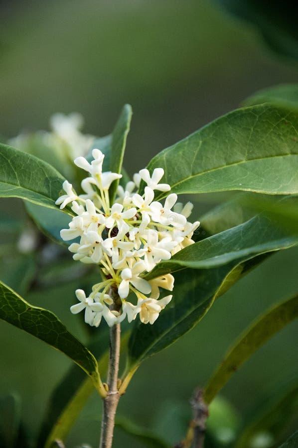 Uiterst kleine Witte Bloemen van de Geurige Thee Olive Shrub Closeup stock afbeeldingen