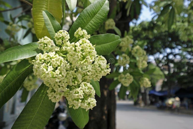 Uiterst kleine witte bloemen van duivelsboom stock afbeelding