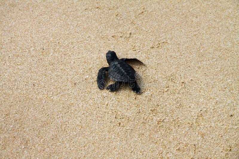 Uitgebroede zeeschildpad die voetafdrukken in het natte zand op het de manier van ` verlaten s in het overzees stock afbeelding
