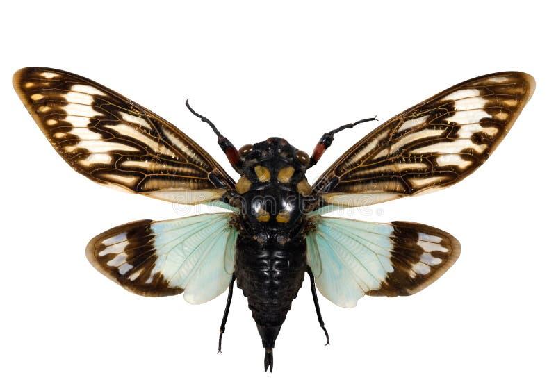 Uitgespreide cicade stock afbeelding