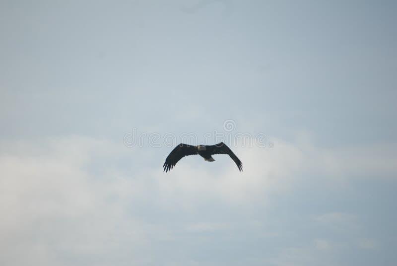Uitgespreide de vleugels van Eagle tijdens de vlucht royalty-vrije stock foto's