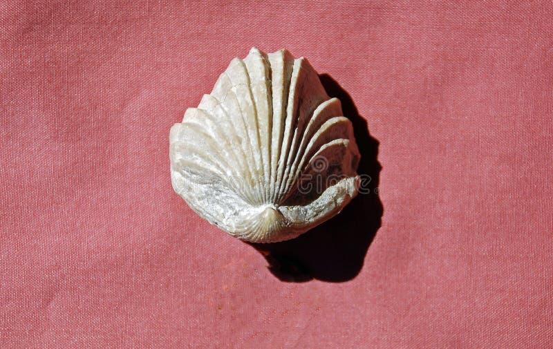 Uitgestorven fossiele uta van Brachiopod Rhynchonella stock foto
