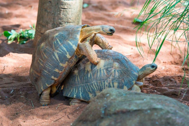 Uitgestraalde Schildpad royalty-vrije stock fotografie