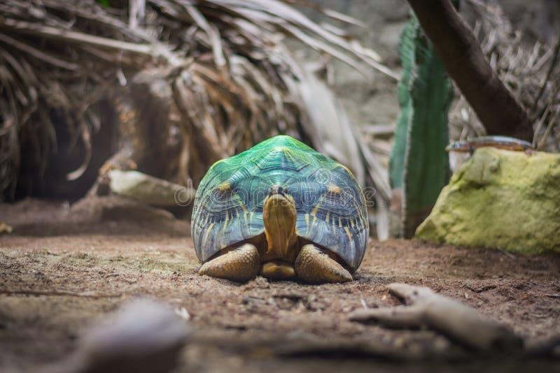 Uitgestraalde schildpad op de groene schijnwerper in aquarium in Berlin Germany royalty-vrije stock afbeelding