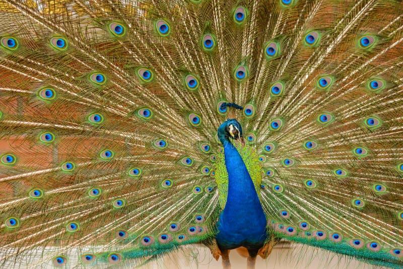 Uitspreidende staart-veren pauw stock afbeeldingen