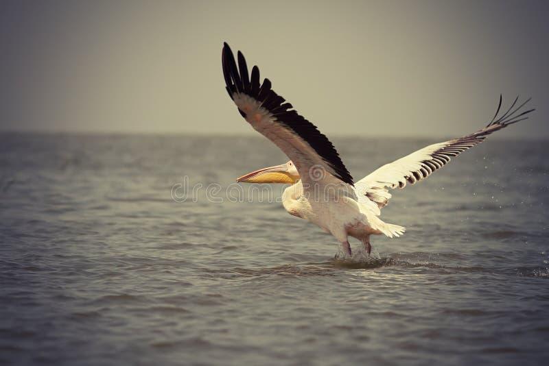Uitstekend beeld van grote pelikaan stock afbeelding