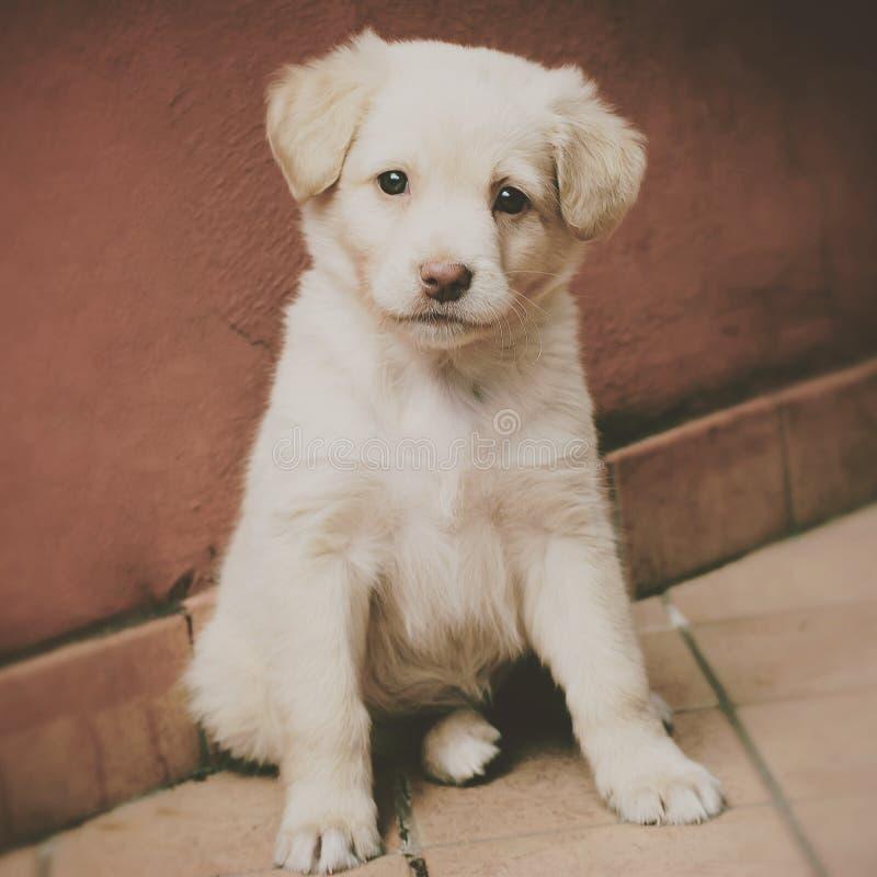 Uitstekend portret van een puppy Labrador royalty-vrije stock foto's