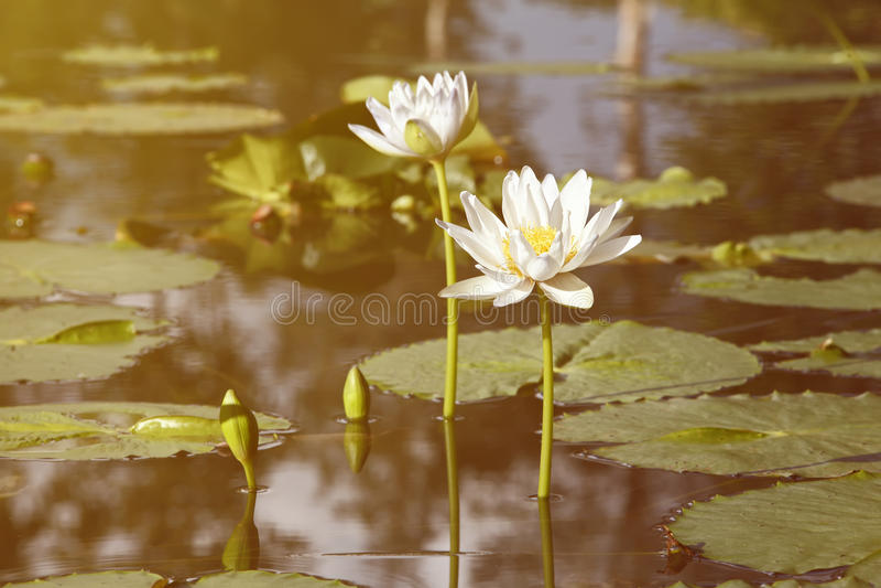 Uitstekend retro effect gefiltreerd hipster stijlbeeld van Aziatische lotusbloem royalty-vrije stock foto