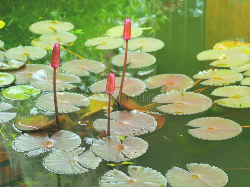 Uitstekend stijlbeeld van ontluikende roze lotusbloem in een vijver stock foto's