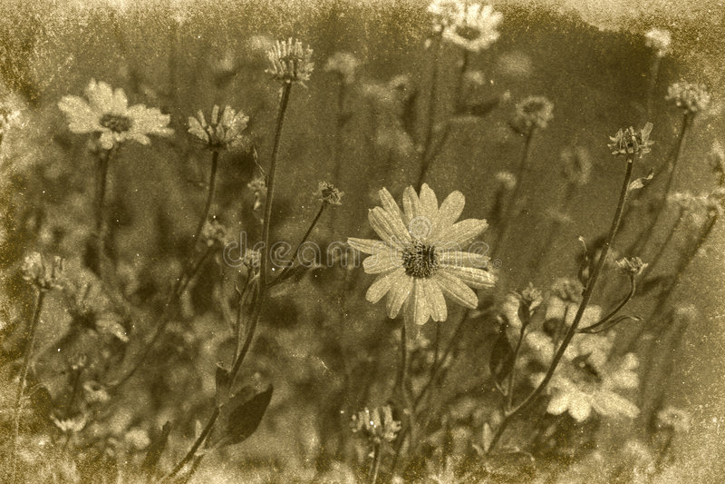 Uitstekende Daisy Photograph royalty-vrije stock fotografie