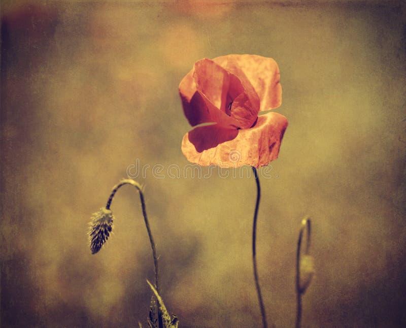 Uitstekende foto van een papaverbloem stock afbeelding