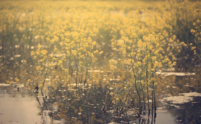 Uitstekende foto van gele bloemen in het meer royalty-vrije stock foto's