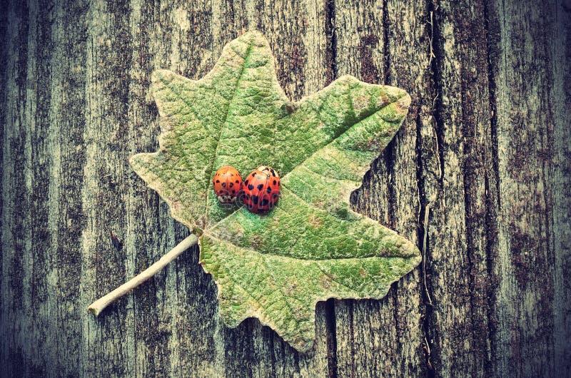 Uitstekende foto van lieveheersbeestjes op groen blad royalty-vrije stock foto