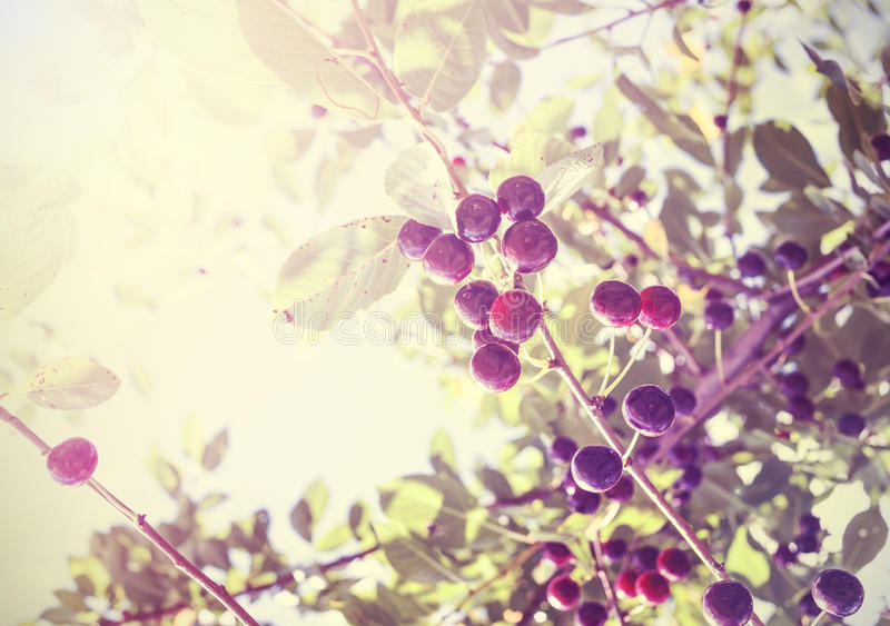 Uitstekende foto van mooie kersenboom met vruchten, antieke styl royalty-vrije stock foto