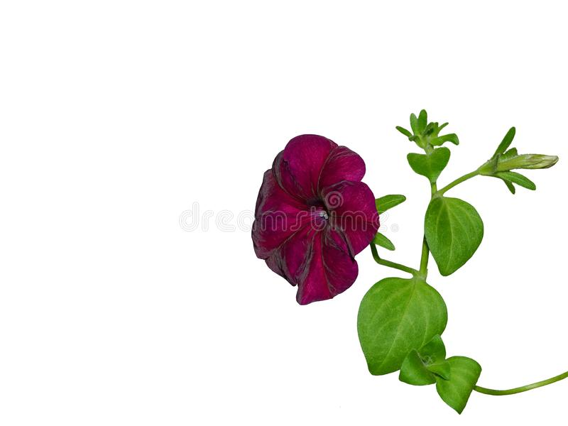 Uitstekende geïsoleerde petunia stock foto's