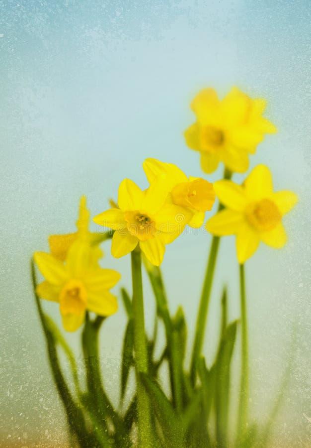 Uitstekende Gele Gele narcissen stock fotografie