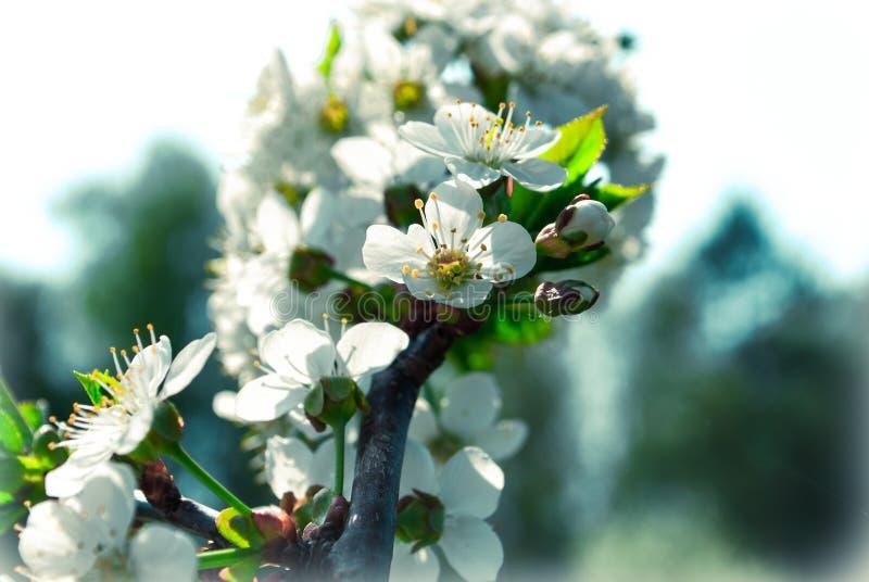 Uitstekende kersenbloesem - sakurabloem Positieve aardbackgrou stock afbeeldingen