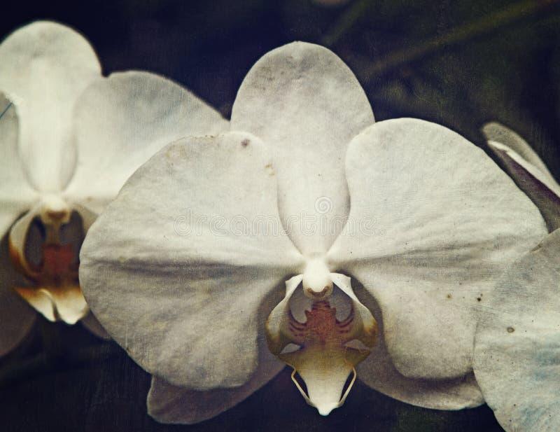 Uitstekende orchidee royalty-vrije stock afbeelding