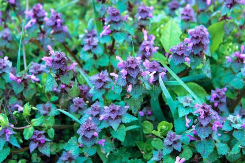 Uitstekende purpere bloesem van Lamium-purpureum purpere dovenetel of purpere aartsengel royalty-vrije stock foto's