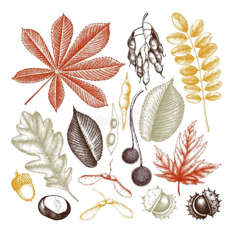 Uitstekende reeks van hand getrokken bladeren en zadenillustratie Vectorbomenschets De elementeninzameling van het de herfstdecor vector illustratie