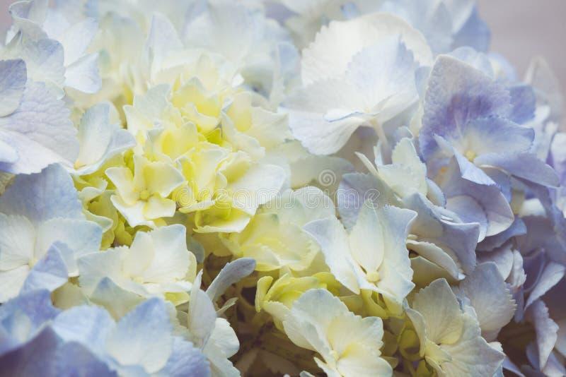 Uitstekende toon van Blauwe hydrangea hortensiabloemen royalty-vrije stock afbeelding