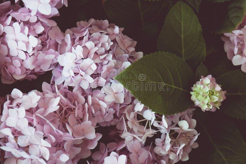 Uitstekende toon van Roze hydrangea hortensiabloemen royalty-vrije stock foto's