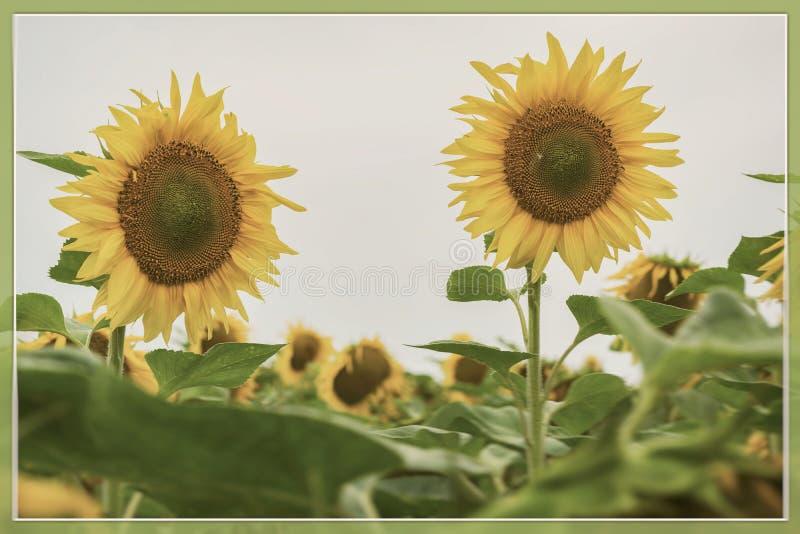 Uitstekende vorm van het bloeien zonnebloemenclose-up Retro de zomerachtergrond voor om het even welke thema's stock foto