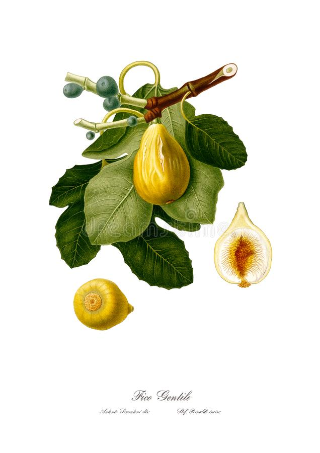 Uitstekende watercolourtak van fig. die art. trekken royalty-vrije illustratie