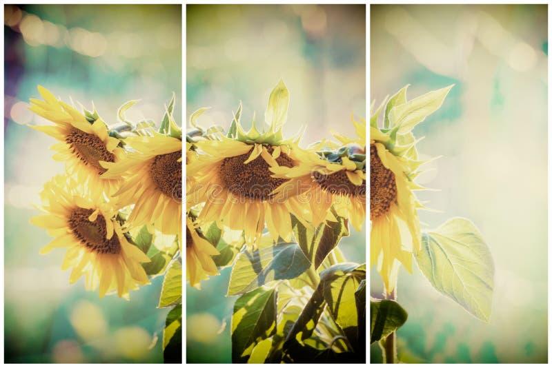 Uitstekende zonnebloemen op het gebied royalty-vrije stock fotografie